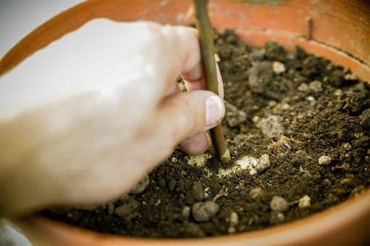 Sau một thời gian, hãy thử dùng tay kéo nhẹ phần gốc của cành, nếu thấy hơi nặng có nghĩa là rễ đã mọc ra.