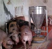 Nhà sáng chế nuôi lợn bằng thức ăn sinh học có thảo dược