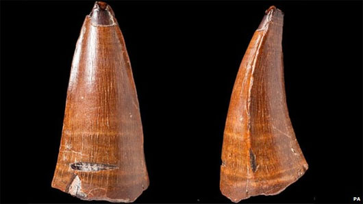 Phát hiện răng động vật biển hóa thạch dài 5,5cm