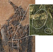 Hóa thạch chim thụ phấn cho cây