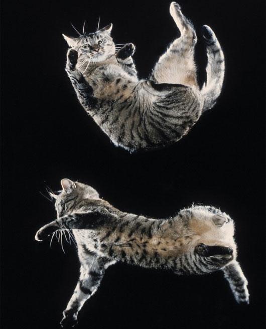 """Phát hiện cơ chế giúp """"mèo bay xuống đất"""" như làm xiếc"""