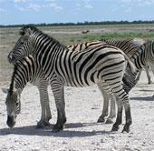 Ngựa vằn lập kỷ lục chuyến di cư dài nhất trên lục địa