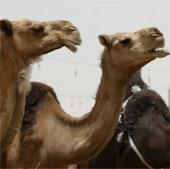 Lạc đà gây hội chứng suy hô hấp Trung Đông