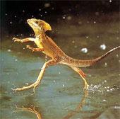 4 loài động vật có thể đi trên mặt nước cực đỉnh