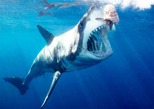 Cá mập lớn ăn cá mập nhỏ