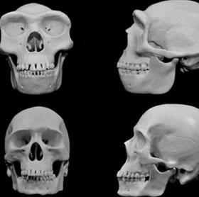 Khuôn mặt con người tiến hóa để tránh bị chấn thương