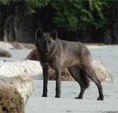 Phát hiện 2 giống sói xám mới ở Canada
