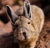 Phát hiện loài chuột cực giống thỏ