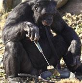 Chú tinh tinh biết nấu ăn, chơi game, thổi kèn