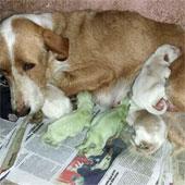 Chó chào đời với bộ lông màu xanh