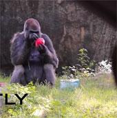 Con khỉ đột đực sống lâu nhất thế giới