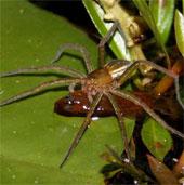 Ngạc nhiên với loài nhện ăn cá
