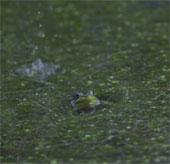 Video slow-motion đẹp về những chú ễnh ương sau một trận mưa