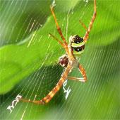 Tơ nhện có thể chuyển tải sóng âm rất tốt