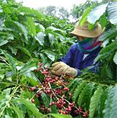 Đắk Lắk sản xuất cà phê thích ứng với biến đổi khí hậu