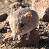 Sinh vật lạ tí hon, giống chuột lai voi