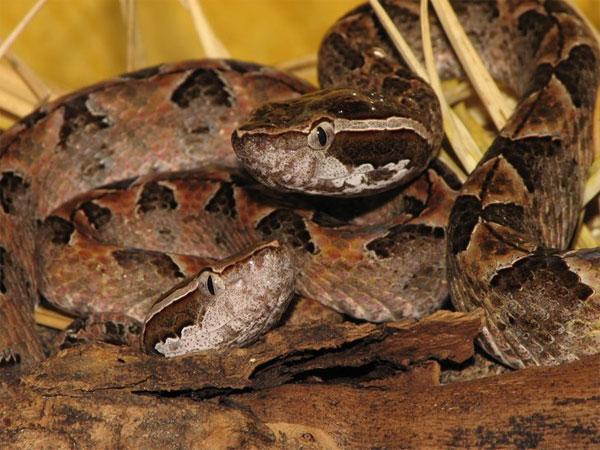Kỳ lạ: Hoại tử cơ bắp sau 50 năm bị rắn kịch độc cắn