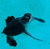 Biến đổi khí hậu có thực sự tốt cho rùa biển?