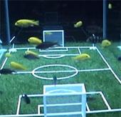 Video: Cá đá bóng ở giải vô địch dưới nước
