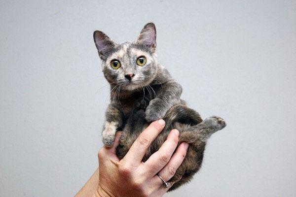 Chú mèo nhỏ nhất thế giới chỉ cao 13cm