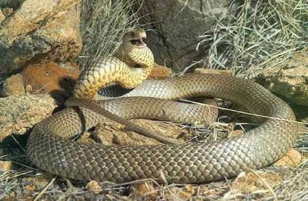 Tìm hiểu loài rắn độc thứ hai thế giới