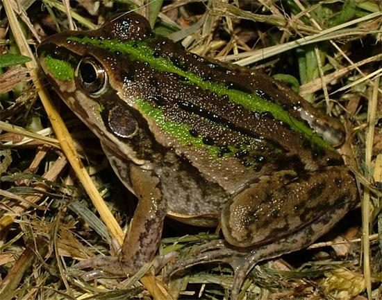 Loài ếch giữ bí mật giúp con người chinh phục vũ trụ