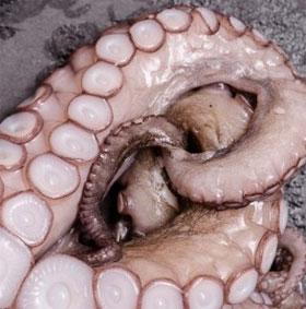 Giác hút trên xúc tu bạch tuộc có thể giúp cải tiến kỹ thuật công nghệ