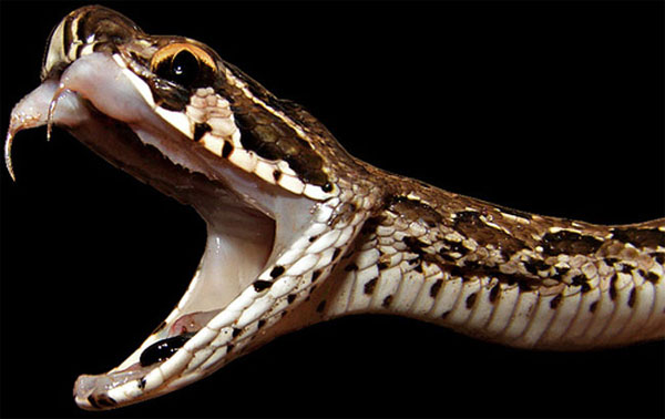 Rắn độc Russell's Pit Viper