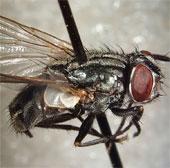 Dùng ruồi biến rác thải thành thức ăn cho vật nuôi