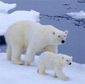 Theo dõi gấu Bắc cực từ không gian