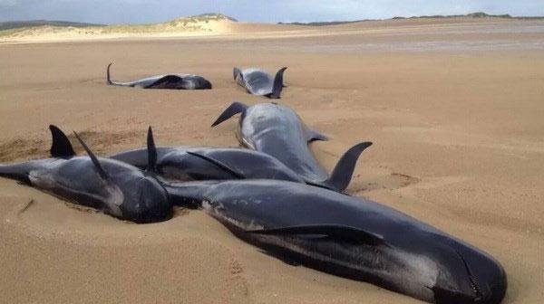 Cá voi hoa tiêu chết bị oan uổng vì mắc cạn trên bờ