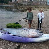 Cá ngừ vây xanh hiếm có xuất hiện ở Anh