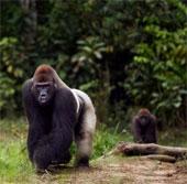 Khỉ đột có thể chủ động sử dụng mùi cơ thể để giao tiếp