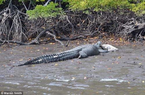 Cá sấu khổng lồ ăn thịt đồng loại