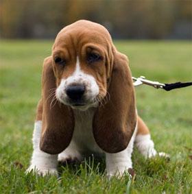 Tại sao động vật nuôi lại có đôi tai cụp?