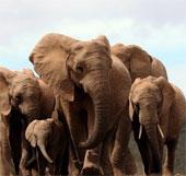 Voi châu Phi có khướu giác tinh nhạy loại bậc nhất