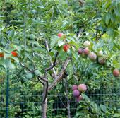 40 loại quả trên cùng một cây