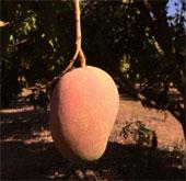 Một nông dân Australia phát triển giống xoài có mùi vị dừa