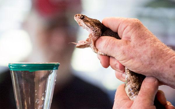 Độc tố trong nọc rắn có thể tác động đến người hoặc động vật bị tấn công với nhiều tốc độ khác nhau.