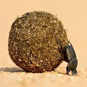 Lý giải tại sao người Ai Cập tôn sùng loài bọ hung ăn phân