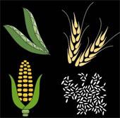 Biến đổi khí hậu ảnh hưởng nguồn cung lương thực