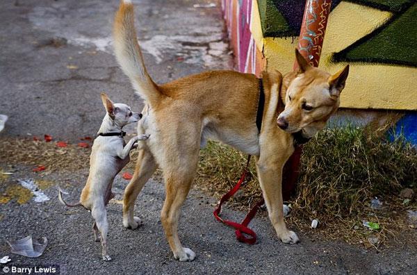 Chó ngửi mông một cá thể khác cùng loài, nó thực tế đang thu thập các thông tin quan trọng.