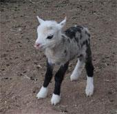 Dê lai cừu có hình dáng đặc biệt xuất hiện tại Mỹ