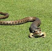 Chú ếch sống sót dù bị rắn nuốt
