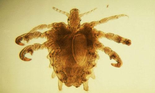 Rận mu là loài côn trùng sống ký sinh và gây bệnh cho con người.