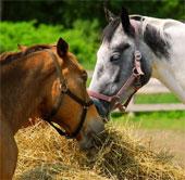 Phát hiện về khả năng giao tiếp bằng tai và mắt của loài ngựa