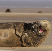 Chùm ảnh: Nụ cười tỏa nắng của hải cẩu