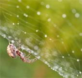 Phát hiện cơ chế hình thành tơ nhện