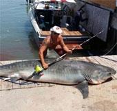 Bắt được cá nhám hổ nặng gần 400kg