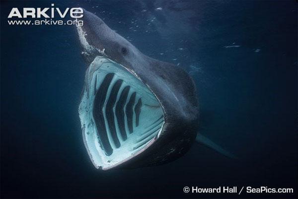 Tìm hiểu loài cá mập khổng lồ có thân hình quái dị
